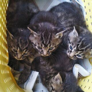 キジトラ子猫5匹
