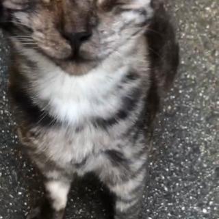 生後6ヶ月のサバトラかわいい猫ちゃん女の子 - 猫
