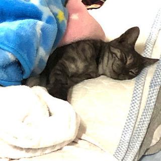 生後6ヶ月のサバトラかわいい猫ちゃん女の子 − 愛知県