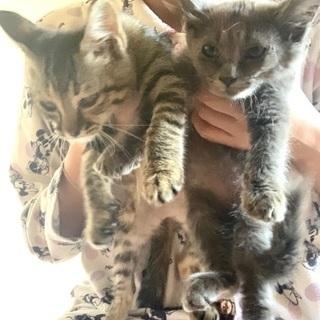 生後2ヶ月の姉妹猫ちゃん − 岐阜県