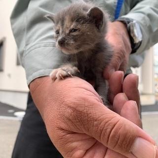 【急募】子猫を助けてくださる方募集!(グレー)