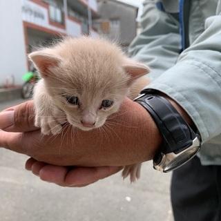 【急募】子猫を助けてくださる方募集!(クリーム)