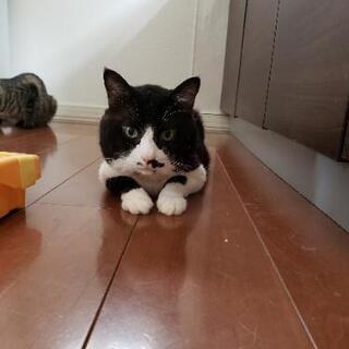 雄猫 13歳 基本ゲージ飼育、1日1回見守りながら室内を散策させてます - 帯広市