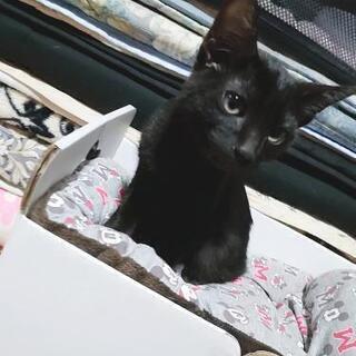 子猫  生後約4ヶ月 黒猫 里親募集^._.^♪