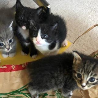 里親急遽募集!1ヶ月半の子猫