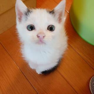 🌟甘えん坊の小さな可愛い子猫です♪