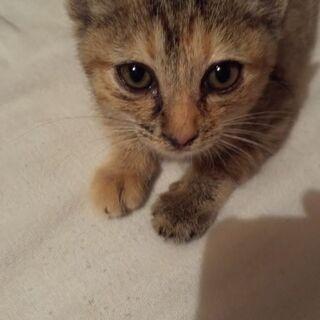 キジトラの仔猫  推定1ヶ月女の子の画像