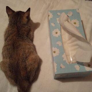 キジトラの仔猫  推定1ヶ月女の子 - 福岡市