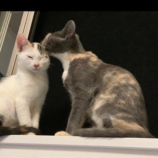 久留米市/三毛♀ 4ヶ月 - 猫