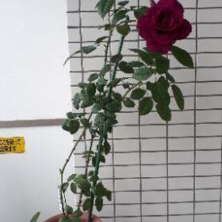 バラ挿し木苗