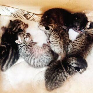 里親さん募集です。生後1ヶ月半の子猫6匹です。