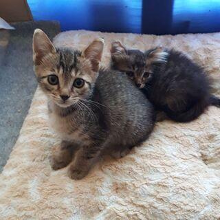生後2ヵ月くらい2匹 黒い子はメス キジトラは?です