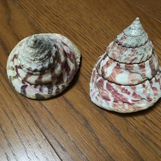石垣島の貝