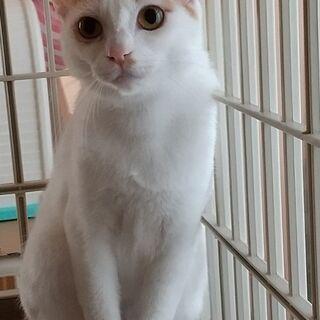 美人な白茶猫 推定1才半