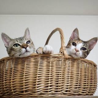可愛い肩乗り大好きキジと三毛猫姉妹