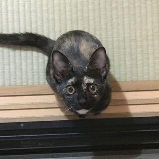 そろそろ5か月のサビちゃん(保護猫)。京都大阪滋賀兵庫奈良の方向け