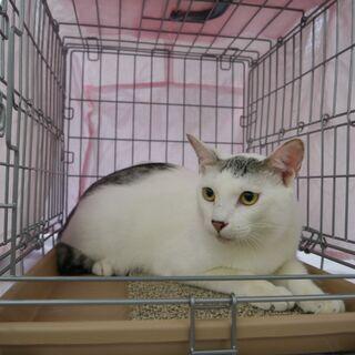 白地に薄いグレー健康的なおとな猫