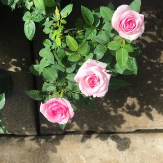 薔薇3.5号綺麗に咲いてます。
