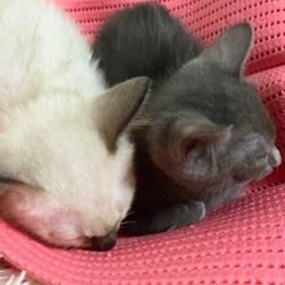 一旦、募集を終了しました。ありがとうございます!順番にお返事させて頂きます。洋猫風なとても可愛い子猫を保護しました!  - 猫