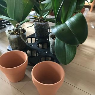 胡蝶蘭苗(ビニールポット)3鉢、素焼き鉢2個他