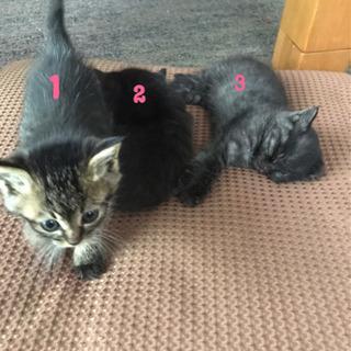 1ヶ月半ぐらいの子猫