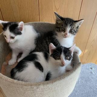 子猫 8月25日生まれ ♀2匹 ♂1匹
