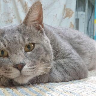 大柄だけど性格はおっとりおおらか、人好き甘えっ子まだ1歳のグレー猫♂サバトラ - 流山市