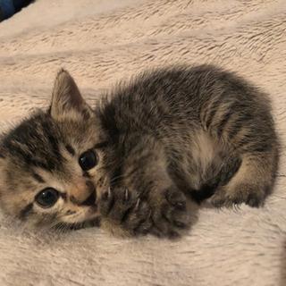 【お話中のため募集とめます】生後2ヶ月程の仔猫