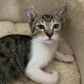 まだ瞳がキトンブルーの仔猫さん!可愛い男の子です。