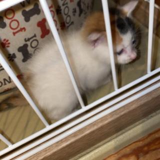 生後1ヶ月くらい?三毛猫の赤ちゃん