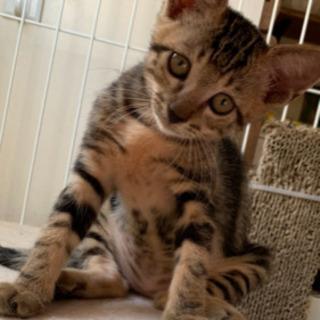 一時募集を止めさせていただきます。2カ月の可愛い子猫の里親さま募...