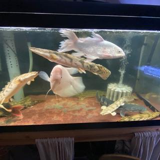 水槽 大型魚