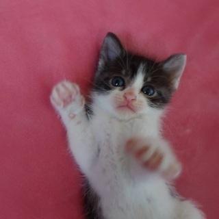 ⭐️甘えんぼキジトラ男の子 子猫 1ヶ月半ぐらい⭐️