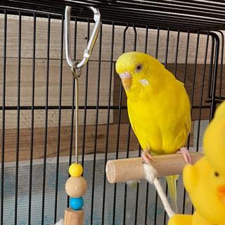 セキセイインコ 3羽