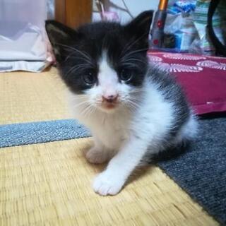 はちわれのカワイイ子ネコ