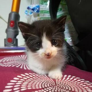 はちわれのカワイイ子ネコ - 猫