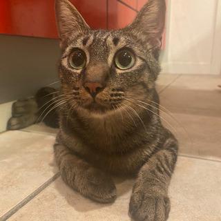 1歳6ヶ月 キジトラ 雄  - 猫