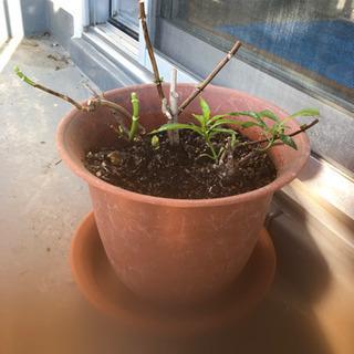 紫陽花 二種植え