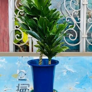 観葉植物 幸福の木 ドラセナ・フラグランス②