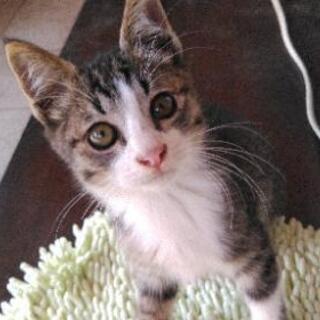 トラ猫。子猫 7月28日生まれ オス。雄。