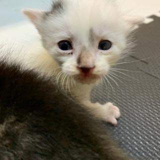 子猫2匹または白のみ - 里親募集