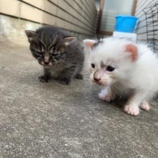 子猫2匹または白のみ - 下呂市
