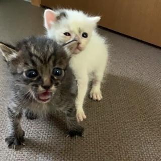 子猫2匹または白のみ - 猫