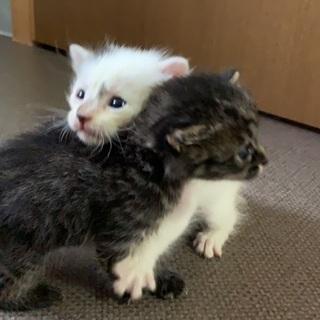 子猫2匹または白のみ − 岐阜県