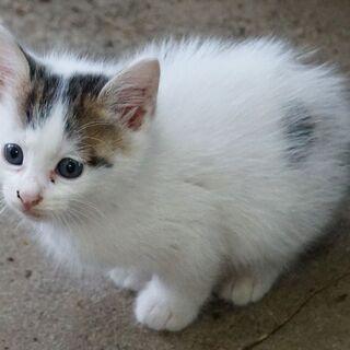 【お話し中。。。一時募集中止】子猫1ヶ月半★3匹★オスメスいます