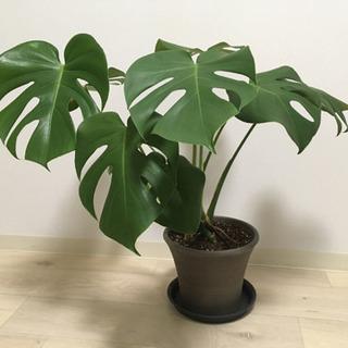 観葉植物 モンステラ(鉢、受け皿、殺虫剤付き)