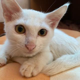 白のオス猫ちゃんを飼ってくれる方募集