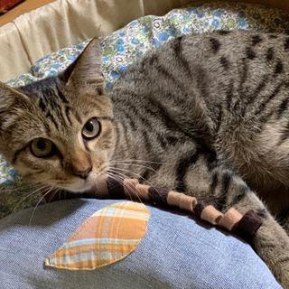 甘えん坊のヒョウ柄猫 (4ヶ月)