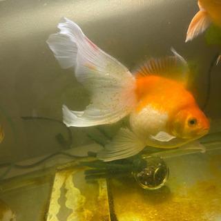 金魚、ピンポンパール(ロングテール)1ペア×2❗値下げ❗