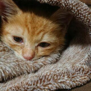 生後1ヶ月半位の茶トラの男の子 - 猫